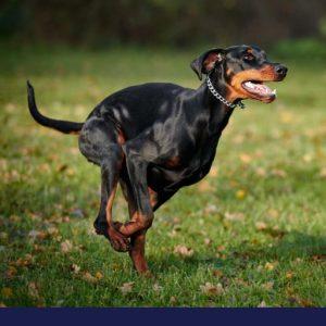 Rabies in pets