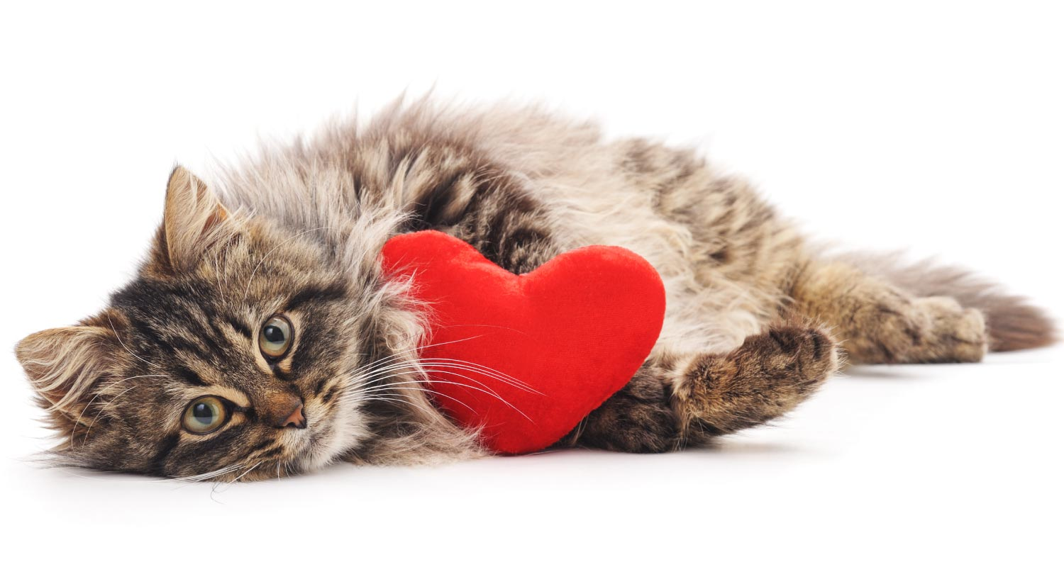 Facts about your cats heart