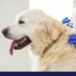 Management and prevention of diabetes in dogs